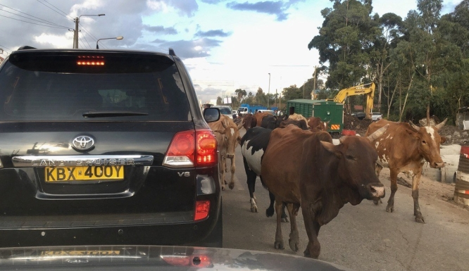 A lane of a Nairobi road is taken up by a herd of cattle