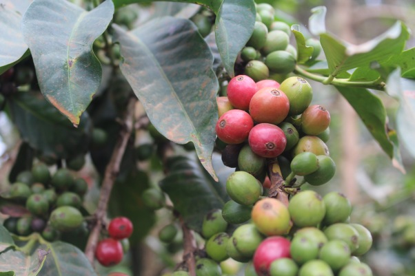 Red and green coffee cherries still on the vine, with green leaves in the background
