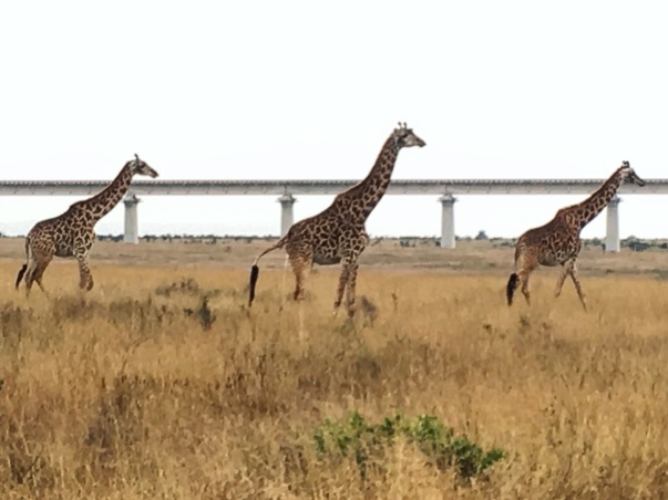Three giraffes standing in short, dry grass in front of an elevated railway line
